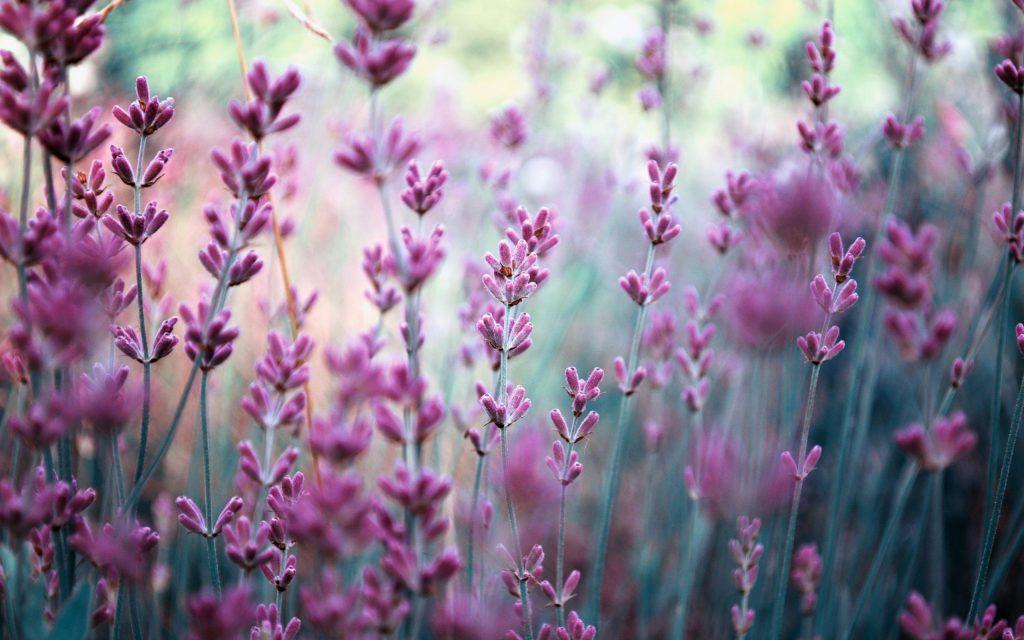 field-lavender-nature-blurring-purple-flowers-wide-resolution